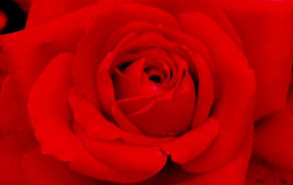 rosa - portarose